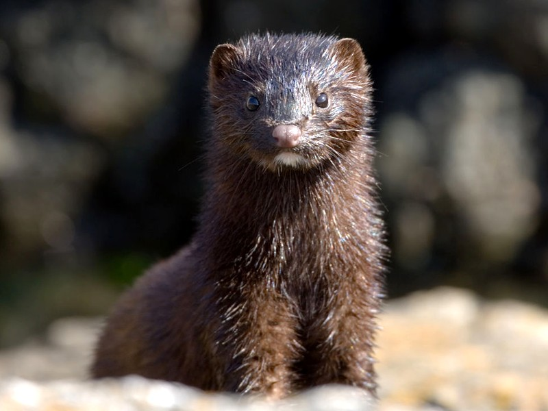 COVID-19 hits U.S. mink farms after ripping through Europe
